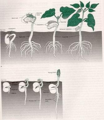 تأثير منظمات النمو تكون الجذور العرضية للنبات Effect plant growth